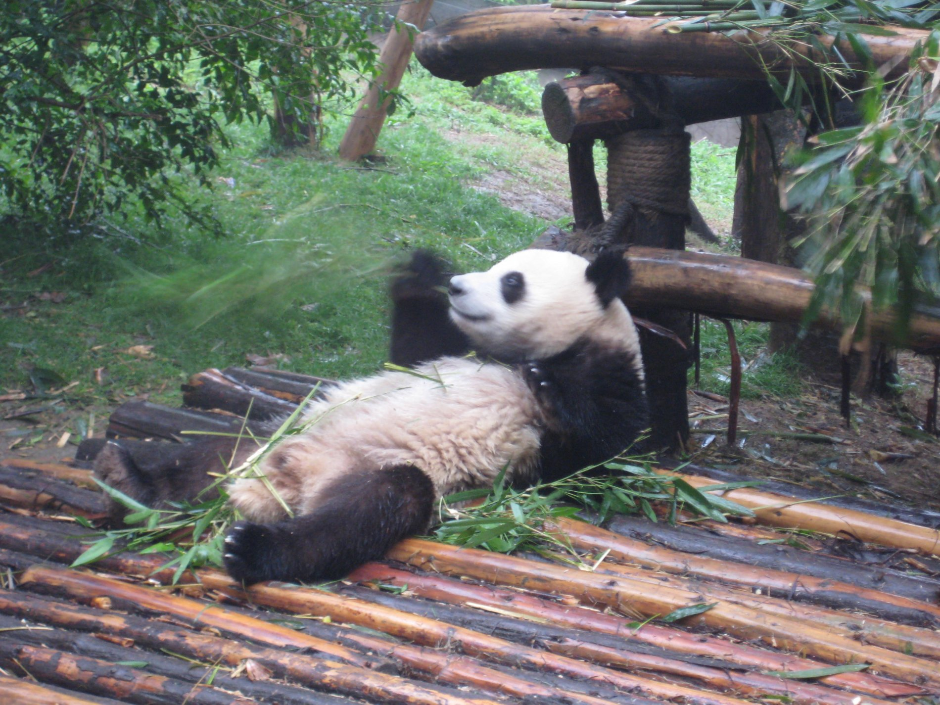 Picture of Chengdu Panda